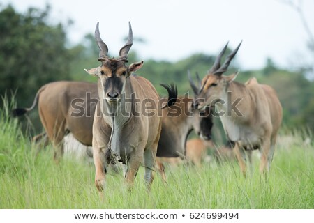 common eland taurotragus oryx stock photo © dirkr