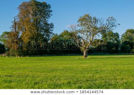 Big leaf grass in farmland. Stock photo © ziprashantzi