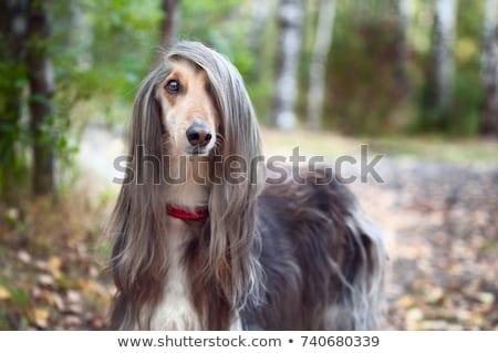 собака красивой гончая черный животные Сток-фото © goroshnikova