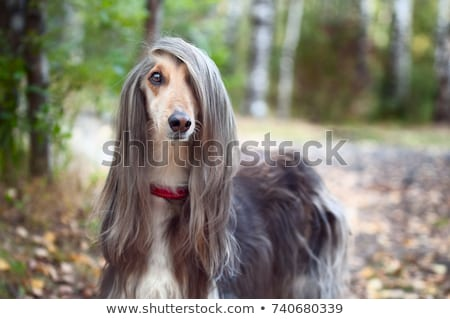 dog beautiful Afghan hound Stock photo © goroshnikova