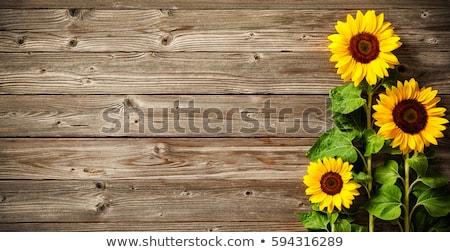 vetor · cerca · girassóis · isolado · branco - foto stock © bluering