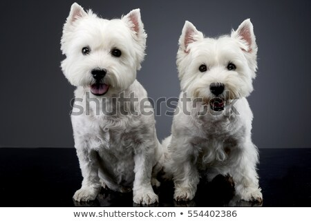 two west highland white terrier sitting in a dark studio stock photo © vauvau