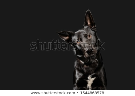 Ciemne psa posiedzenia studio piękna funny Zdjęcia stock © vauvau
