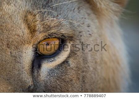 лев глазах парка ЮАР животные Сток-фото © simoneeman