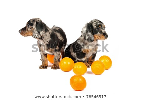 two mixed breed brown dog sitting in a white backgound studio stock photo © vauvau
