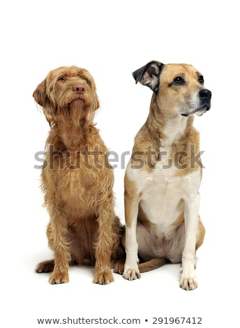 beautiful flying ears mixed breed dog sitting sideways and looki Stock photo © vauvau