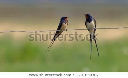 swallows on the wire stock photo © hamik