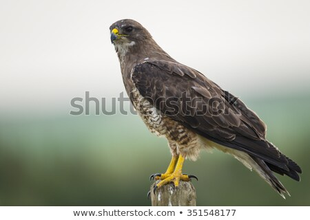 Swainson's Hawk perched on fence post Stock photo © pictureguy
