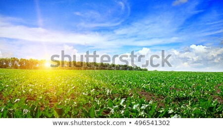 young sugar beet crops growing in field stock photo © stevanovicigor