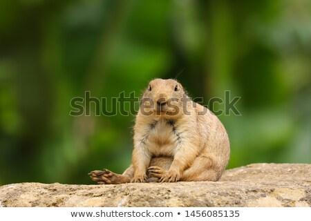Eekhoorn bruin bont illustratie gelukkig natuur Stockfoto © bluering