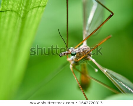 Big Mosquito Macro stock photo © FOTOYOU