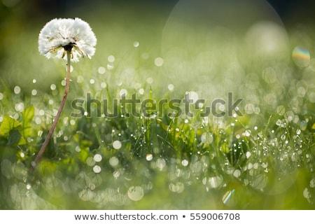 паутина · покрытый · роса · капли · луговой · Солнечный - Сток-фото © vlad_star