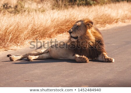 Big male Lion laying on the road. stock photo © simoneeman