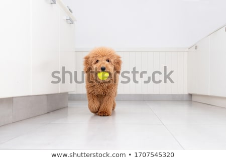 Dog looking at tennis ball in pool Stock photo © IS2