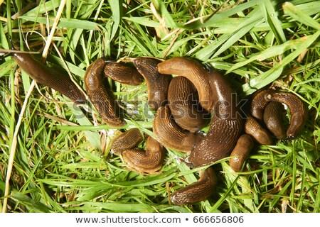 Group of slugs eating  Stock photo © Olena
