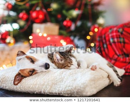 jonge · kat · christmas · hoed · witte · kitten - stockfoto © cynoclub