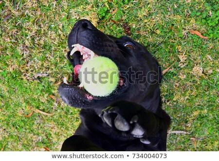 bear holding tennis ball stock photo © krisdog