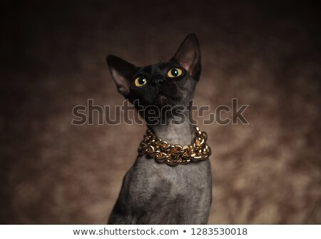 head of cute metis cat wearing golden necklace looking up Stock photo © feedough