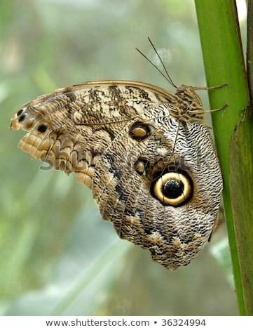 owl butterfly showing off wing defensive costa rica central america stock photo © lopolo