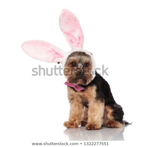 elegant yorkshire terrier wearing rabbit ears headband looks to  Stock photo © feedough