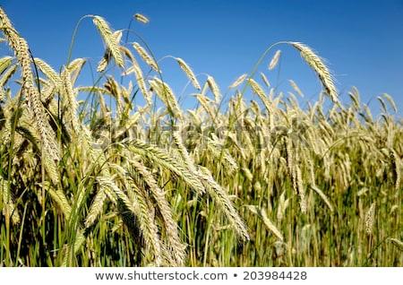 рожь ушки кукурузы области Сток-фото © Klinker
