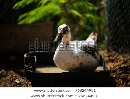 Libre gamme canard ferme naturelles groupe Photo stock © smuay