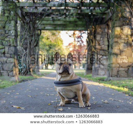 Young French Bulldog sitting in front of stone gateways Stock photo © yhelfman