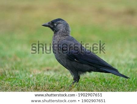 Jackdaw  (Corvus monedula). Walking on green meadow. Stock photo © pashabo