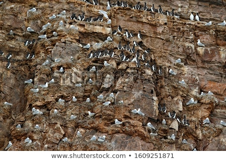 Black-headed gull and Common murre Stock photo © LianeM
