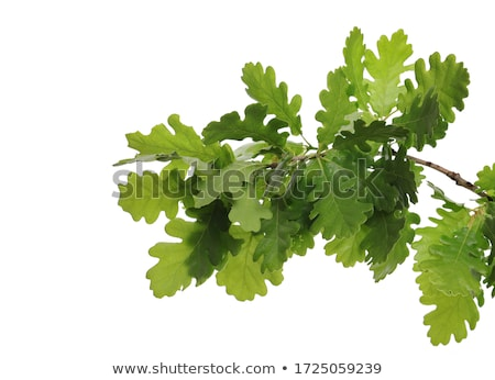 Green background. Oak leaf texture closeup.