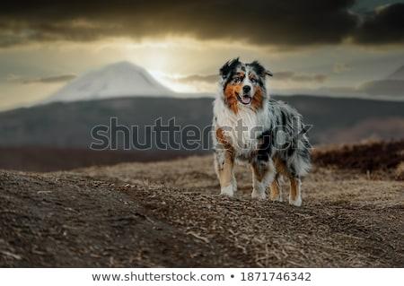 Australian Shepherd Stock photo © eriklam