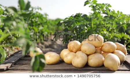 potatos field and sunny summer day stock photo © tarczas