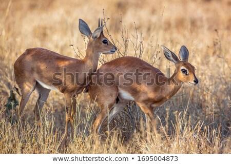 Two Steenbok (Raphicerus campestris) Stock photo © dirkr