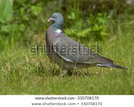 Legno piccione albero Foto d'archivio © chris2766