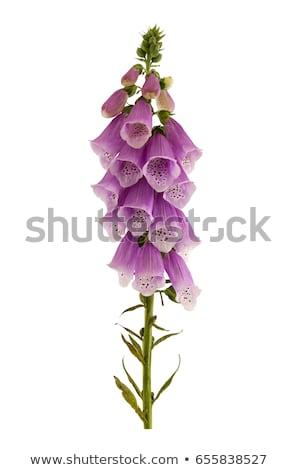 flor · roxo · florescer · raso · flores - foto stock © rbiedermann