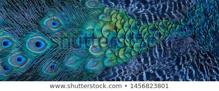 Tavuskuşu doğa güzellik mavi hayvan Stok fotoğraf © chatchai