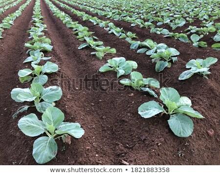 Káposzta palánta virág mező szakács zöldség Stock fotó © fanfo
