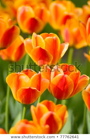 Tulip Close Up Shot Foto stock © vrvalerian