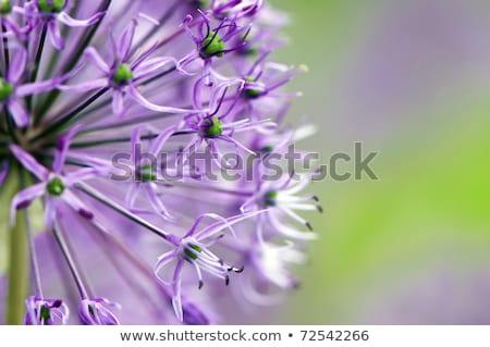 virágok · csoport · óriás · hagyma · virág · szépség - stock fotó © bubutu