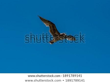 Pacific gull (Larus pacificus) Stock photo © dirkr
