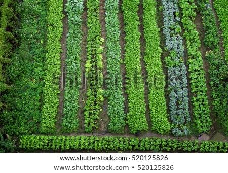Farm scene with vegetables garden Stock photo © colematt