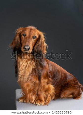 Portré imádnivaló hosszú hajú tacskó stúdiófelvétel izolált Stock fotó © vauvau