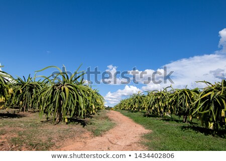 Dragon fruit plantation in a tropical garden Stock photo © galitskaya