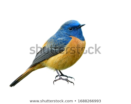 phoenicurus bird stock photo © digoarpi