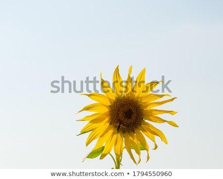 sunflower and bee stock photo © elenarts