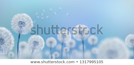 pitypang · mező · virágmező · kék · ég · virágok · felhők - stock fotó © johnnychaos