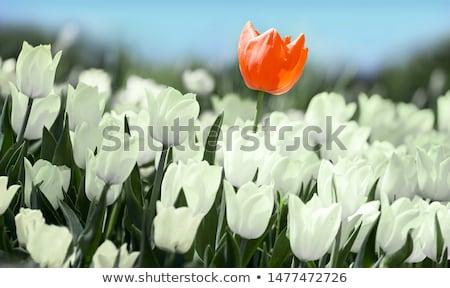 красный тюльпаны выбранный Focus цветок Сток-фото © dsmsoft