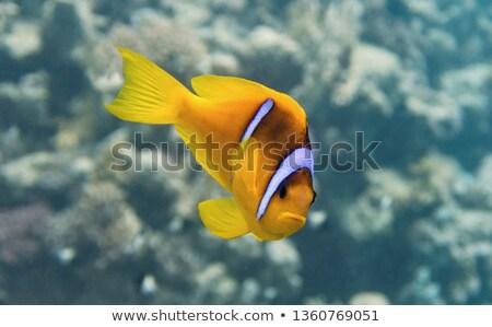 Anemonefish (amphiprion bicinctus) Stock photo © stephankerkhofs