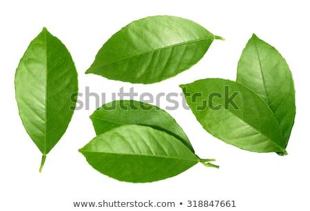 branch of green lemon leaves isolated on white Stock photo © artjazz