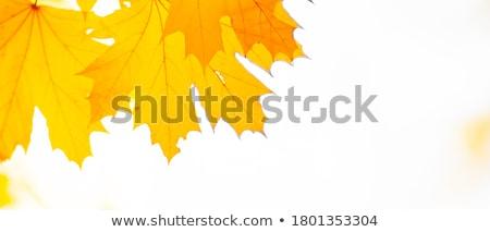 bright yellow maple leaves stock photo © mariematata
